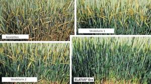 Elatus Era hatása az őszi búza főbb beltartalmi paramétereire (forrás: Syngenta fejlesztői kísérletek)