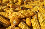 corn-grains-harvest-fall-food-healthy-vegetarian