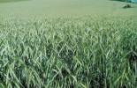 Ősszel kezelt, gyommentes tritikále tábla következő év júniusában (forrás: a szerző saját felvétele)