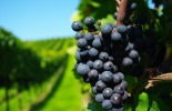 Ripe-grapes-in-a-green-vineyard_5120x3200