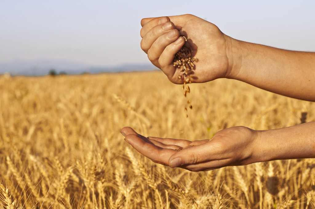 bigstock-Quickly-Run-Of-Wheat-Seeds-Bet-41390800-1