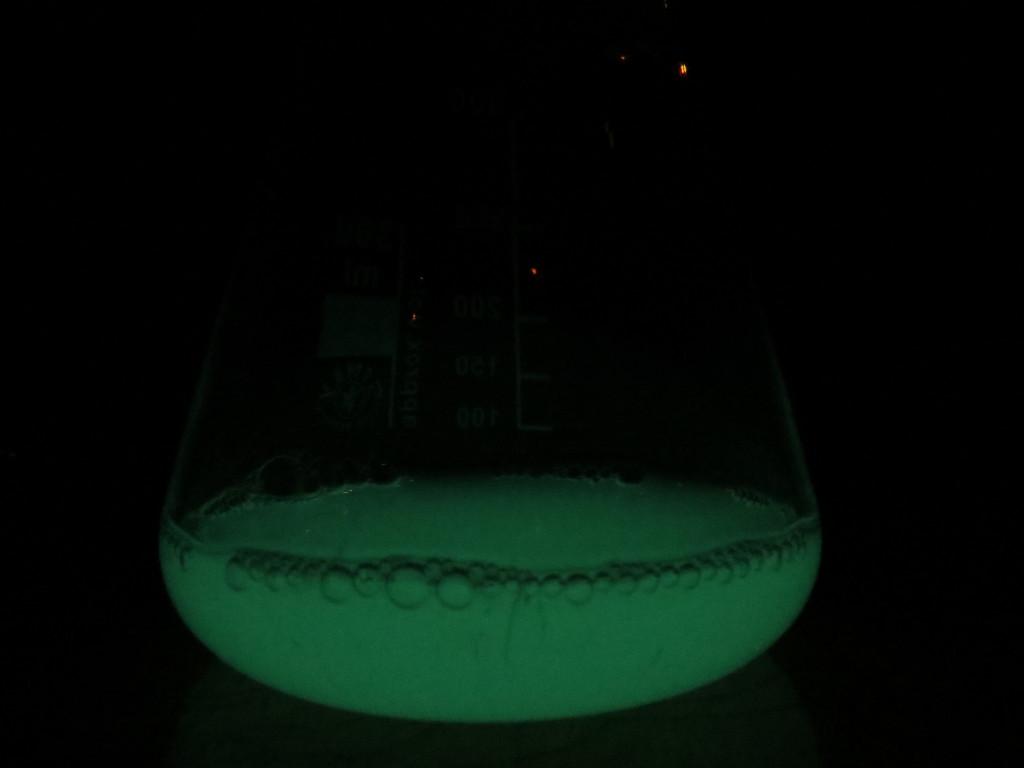 Aliivibrio fischeri 24 órás folyadékkultúra
