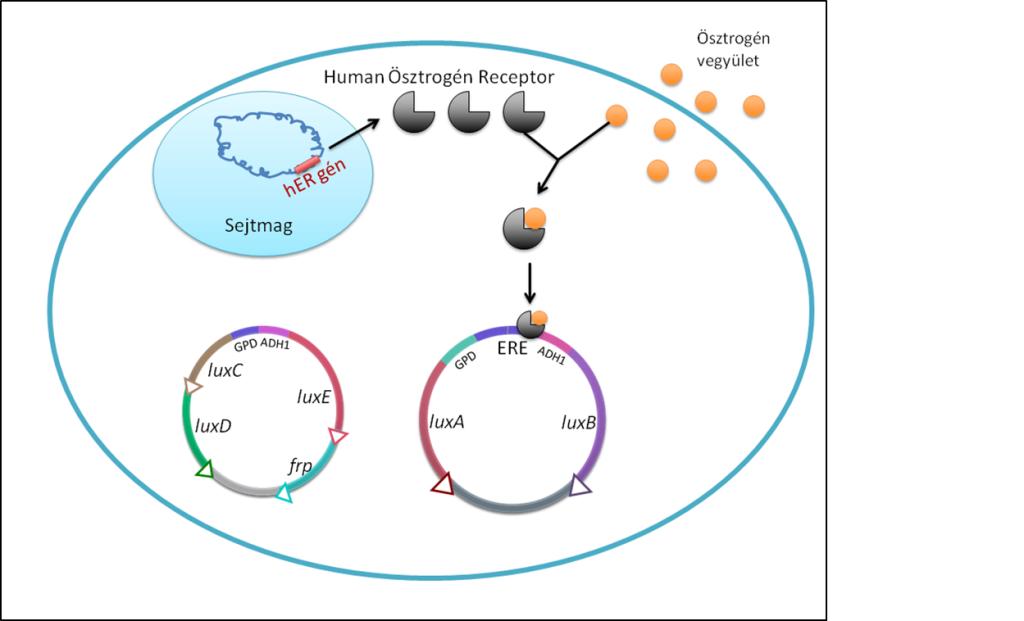 Direkt ösztrogénhatás mérésére alkalmazott Saccharomyces cerevisiae BLYES törzs sematikus ábrája